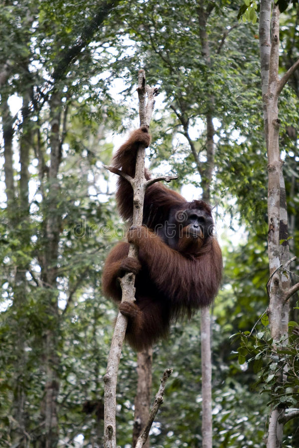 Download Wild orangutan, Borneo stock image. Image of mammal, climate - 9803013