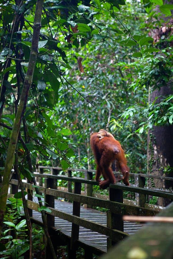 Wild orangutang in Sepilok nature reserve in Sabah, Borneo, Malaysia royalty free stock image