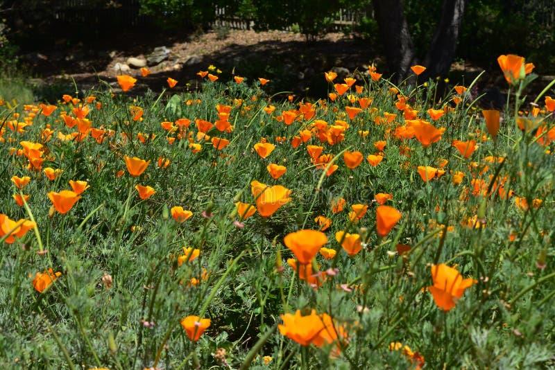 Wild Oranje Californië Poppy Flowers in Bloei royalty-vrije stock afbeelding