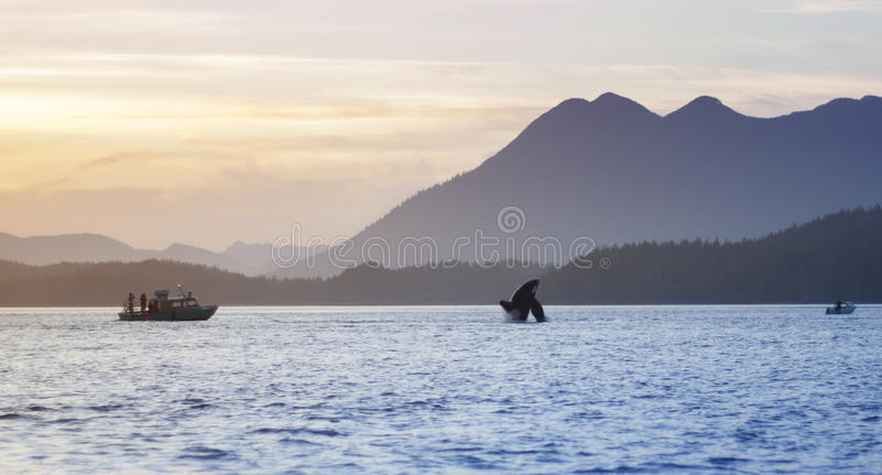 Download Wild Orca Breach Sunset Mountains Tofino British Columbia Stock Image - Image: 55151803