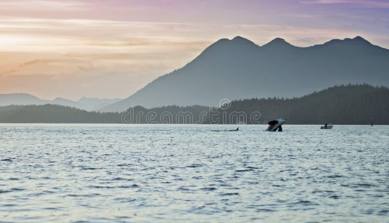 Wild Orcas Breach Swim with Sunset Mountains Tofino British Columbia. Orcas ( killer whales) swim and breach at sunset with mountains in the background near royalty free stock photos