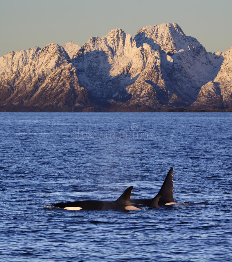Wild orcas, Vestfjord, Lofoten, Norway. Wild orcas or killer whales, male, female and young, Vestfjord, Lofoten, Norway