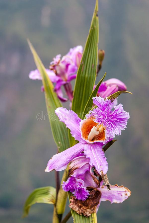 Pink wild orchid. Pink and purple wild orchid blooming beautifully stock photography