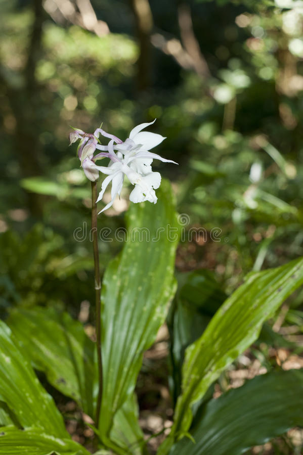 Download Wild Orchid Flower Bloom On Forest Land Stock Photo - Image: 23521888