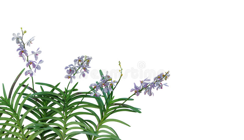 Wild orchid flowers with green leaves in tropical rainforest iso stock photography
