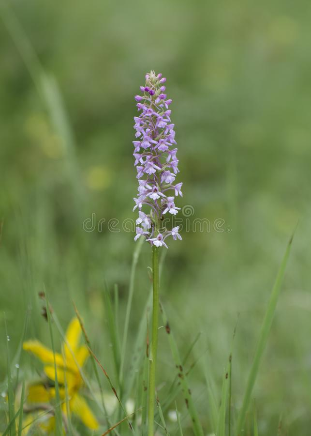 Wild orchid growing in a meadow royalty free stock photos