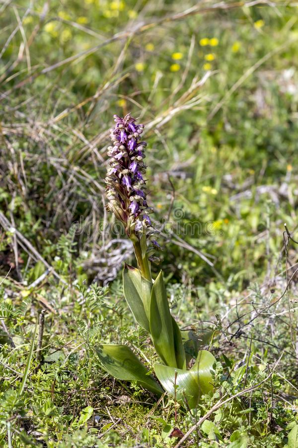 The wild orchid Himantoglossum robertianum with violet flowers grows in its natural habitat stock photo
