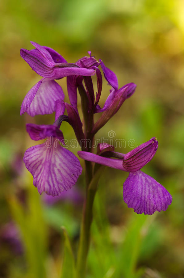 Wild Orchid hybrid - Anacamptis x gennarii royalty free stock photography