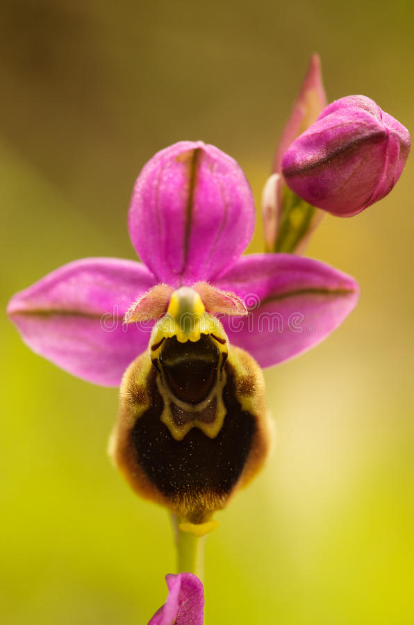 Wild Orchid hybrid Oprhys x Turiana flower detail royalty free stock photos