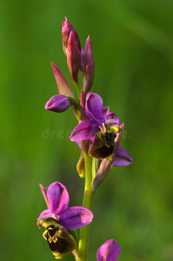 Wild Orchid hybrid Oprhys x Turiana flowers against grass green background stock images