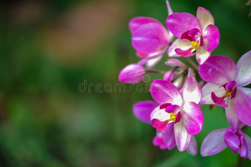 Wild orchid with magenta pink color. Spathoglottis orchid with magenta pink color. This orchid is generally found on the ground level in the rain forest of royalty free stock image