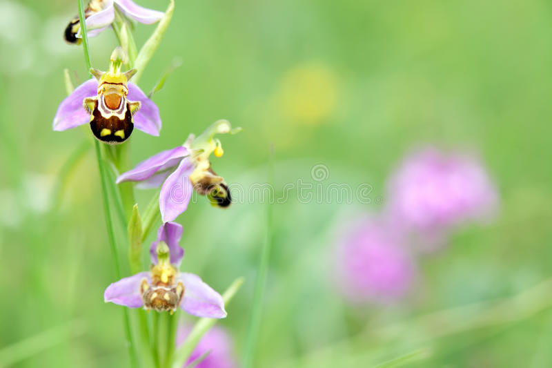 Wild orchid in meadow stock photo