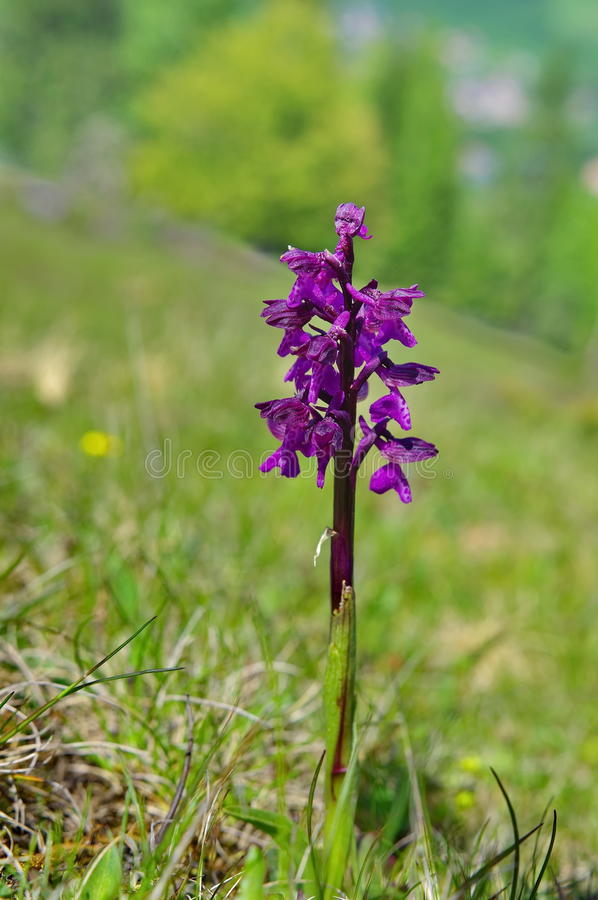 Wild Orchid on meadow royalty free stock photos
