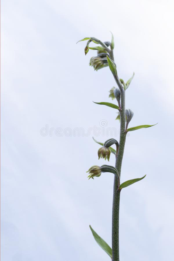 Wild orchid. Small-leaved helleborine aka Epipactis microphylla. royalty free stock photo