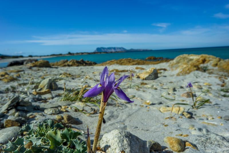 Wild orchid violet, Isuledda Beach, Tavolara, San Teodoro, Sardinia, Italy. royalty free stock photos