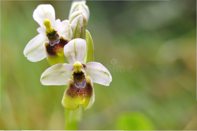 Wild orchid2 arkivbilder