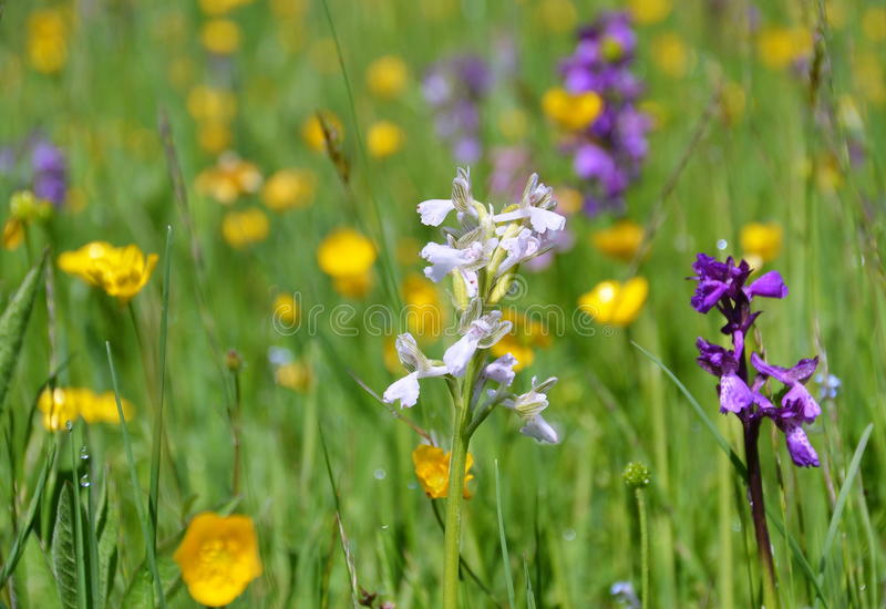 Wild orchids in the meadow stock photography