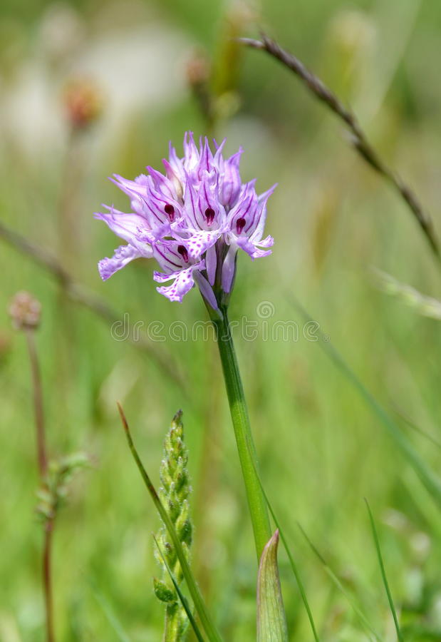Wild orchids in the meadow royalty free stock photography