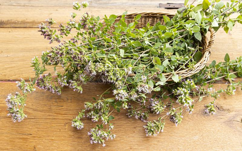 Wild oregano from the countryside in a basket royalty free stock image