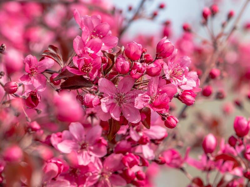 Wild ornamental apple tree in full bloom stock images
