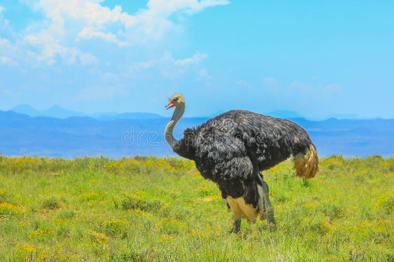 Wild ostrich on grass background stock photography