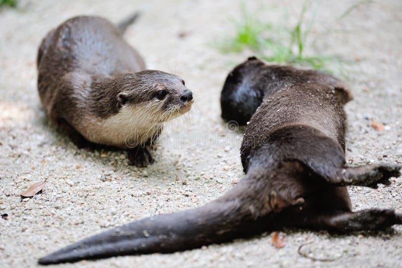 Wild Otters Stock Photo