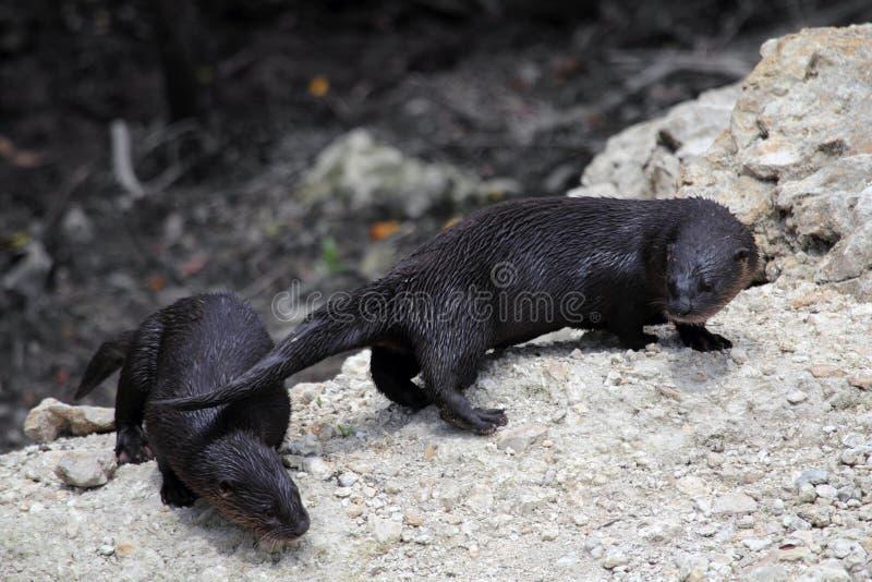 Wild Otters stock photos