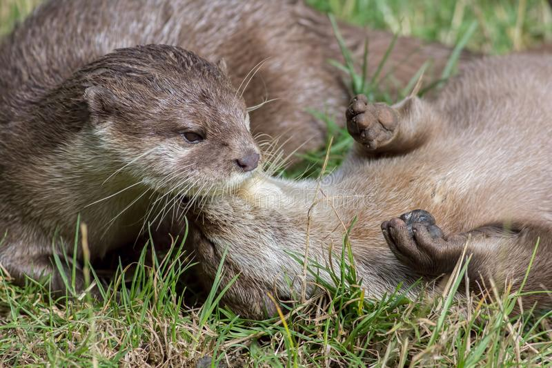 Wild otters playing. Affectionate river animal pair social bonding. royalty free stock photo