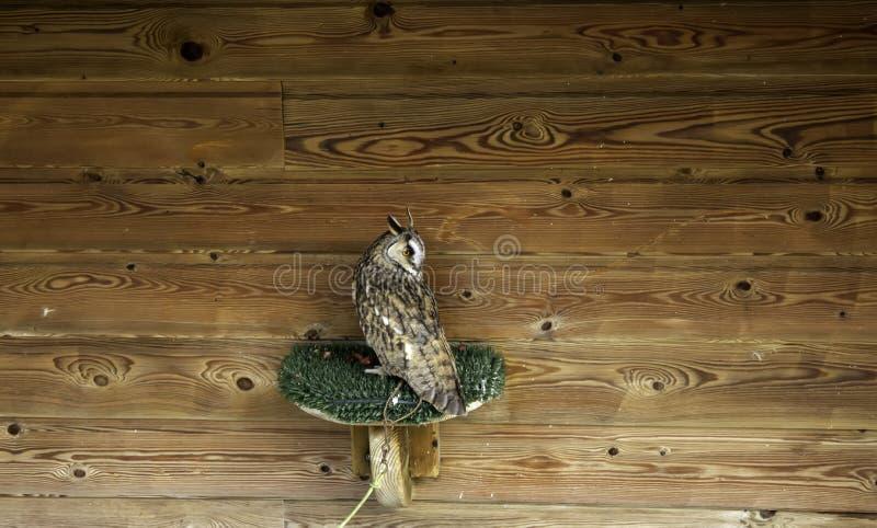 Wild owl tied. In falconry hut, exploited animals nature looking feather bird wildlife portrait outdoors prey beak predator night perched eye close-up closeup stock photos