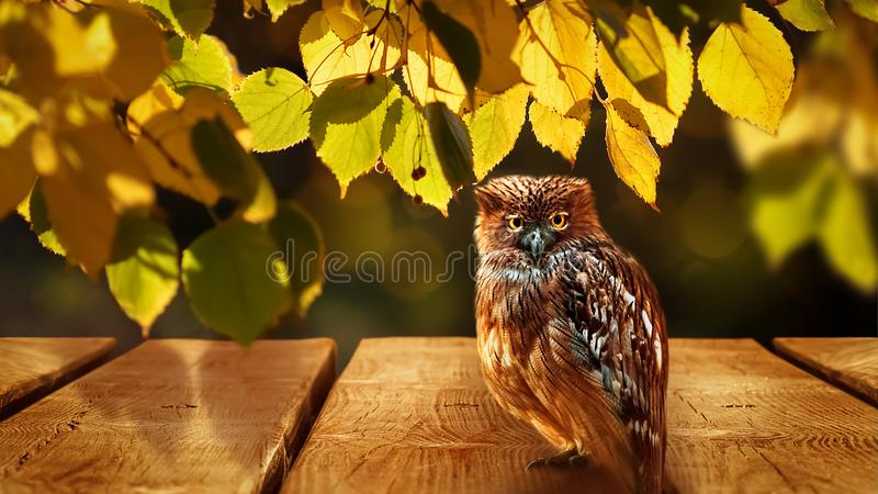 Wild owl with yellow eyes in a sunny autumn forest. Autumn natural art background. Composite image. Wild owl with yellow eyes in a sunny autumn forest. Autumn stock photography