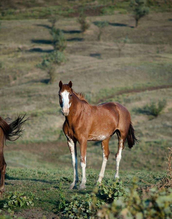 Wild paard royalty-vrije stock afbeeldingen