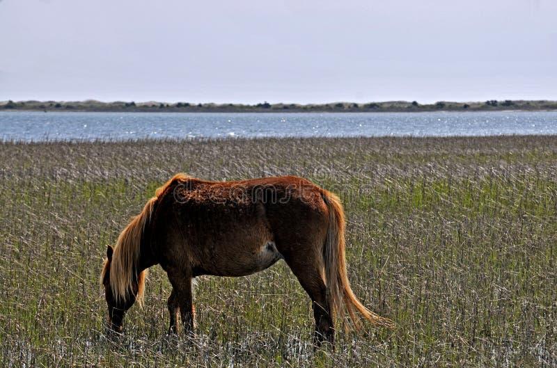 Wild paard bij Banken Shackleford stock afbeelding