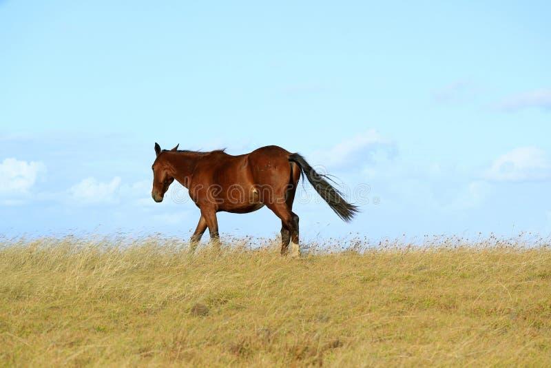 Wild paard die op de heuvel, Pasen-eiland, Chili, Zuid-Amerika lopen royalty-vrije stock afbeelding