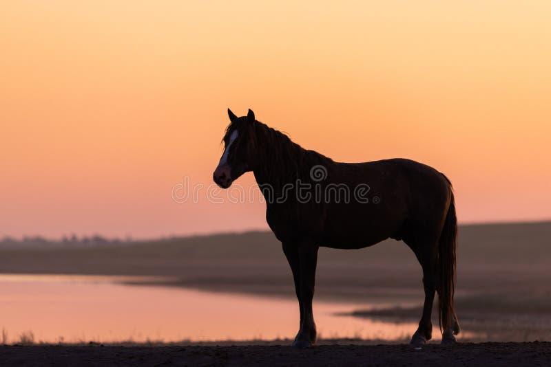 Wild paard in het wild op gouden zonsondergang stock fotografie