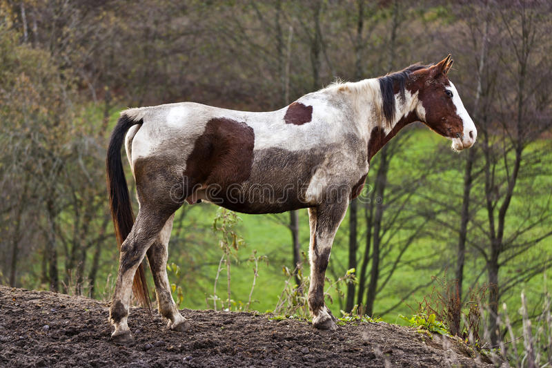 Wild paard met modderig bont stock foto
