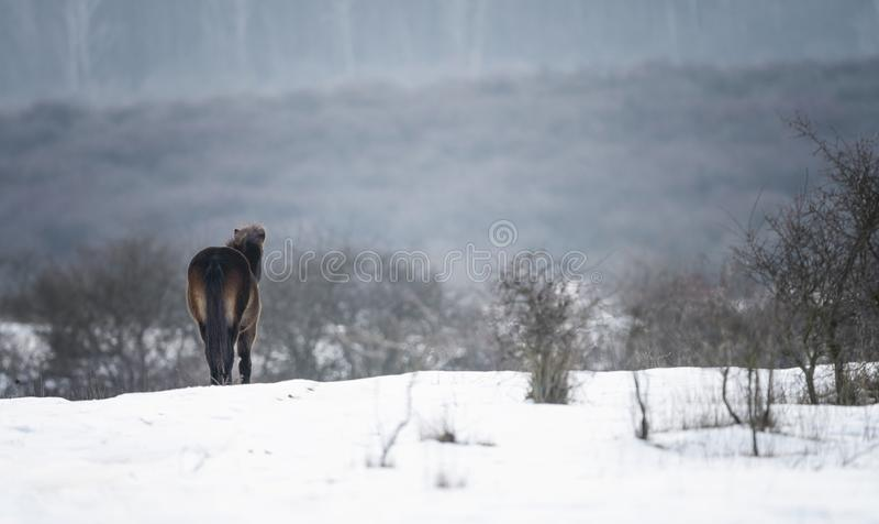 Wild paard Mooi wild paard in de winterlandschap stock fotografie
