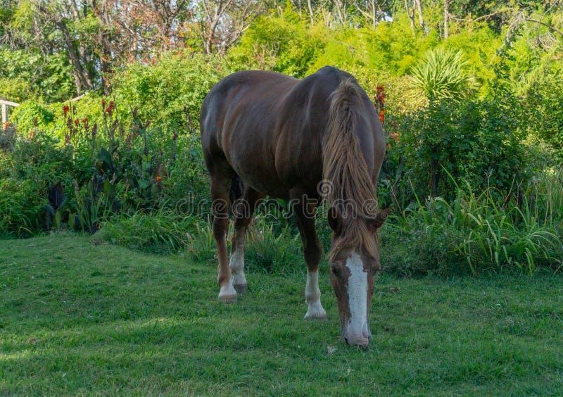 Wild paard op mooi landbouwbedrijf in Argentinië royalty-vrije stock afbeelding