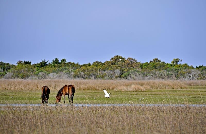 Wild paarden bij Banken Shackleford royalty-vrije stock foto's