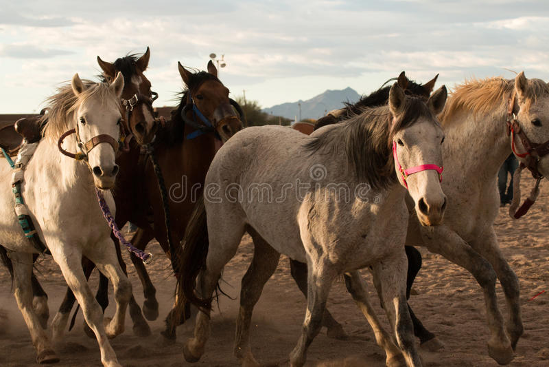 Wild paarden bij de Professionele Rodeo royalty-vrije stock afbeelding