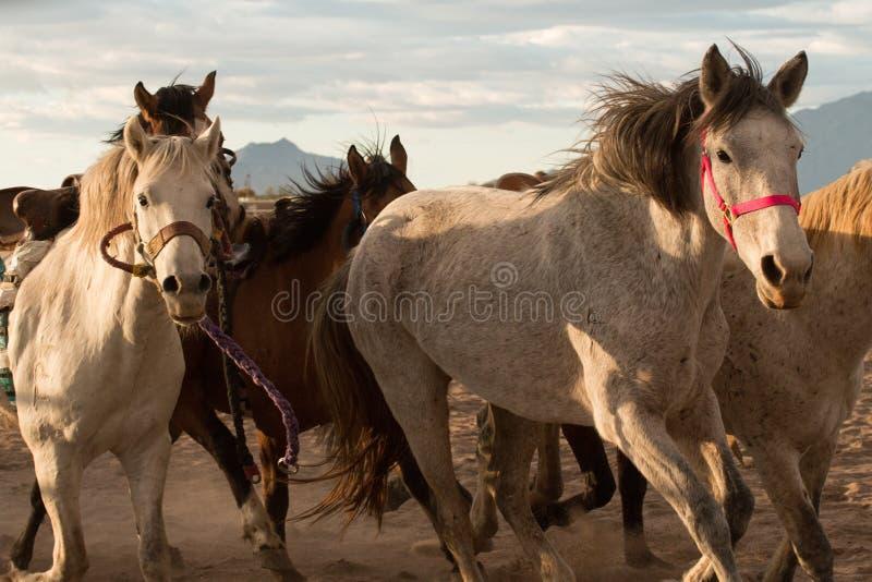 Wild paarden bij de Professionele Rodeo stock afbeeldingen