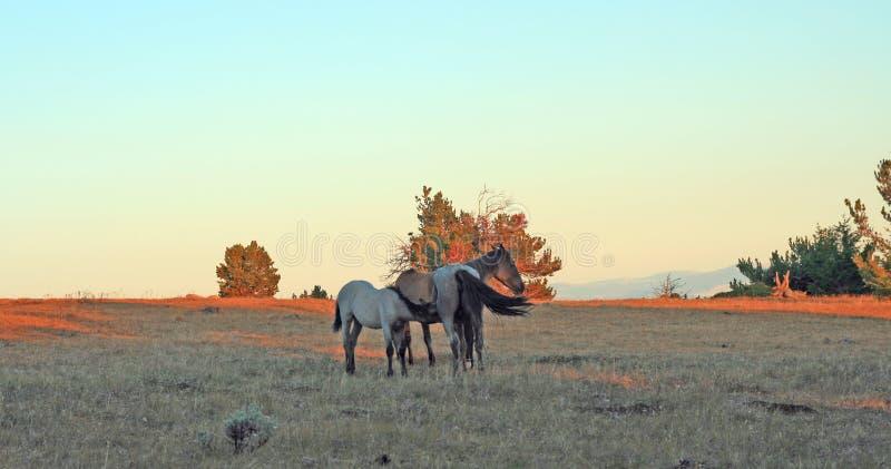 Wild paarden bij zonsondergang - Blauw Roan Colt die zijn Blauwe roan merriemoeder op Tillett-Rand in de Pryor-Bergen van Wyoming royalty-vrije stock afbeeldingen