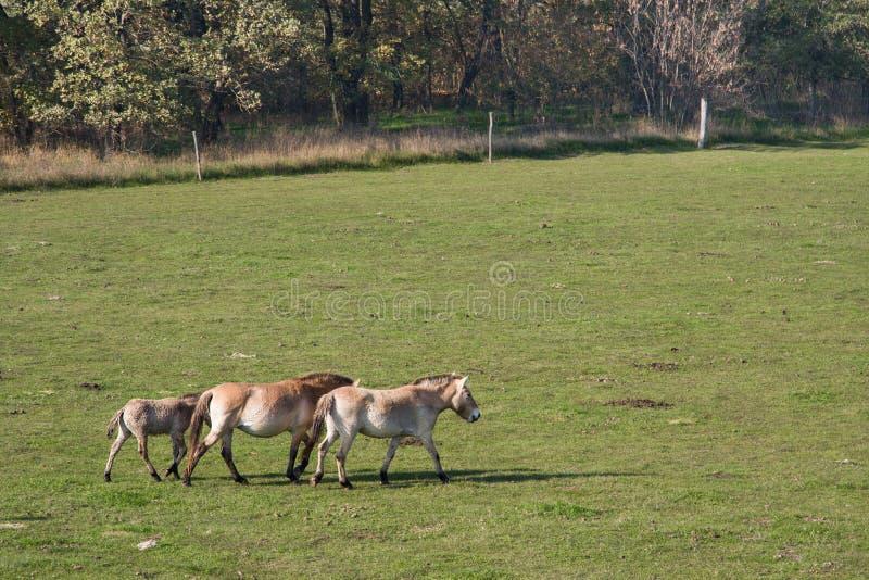 Wild paarden in de Hongaarse heide royalty-vrije stock foto's