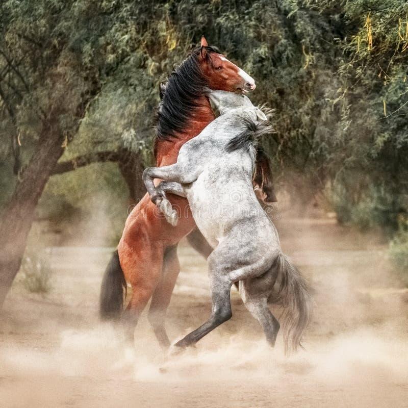 Wild paarden die omhoog Spel het Vechten grootbrengen stock foto
