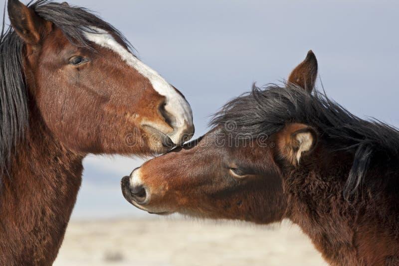 Wild paarden die overheersing vestigen royalty-vrije stock foto's