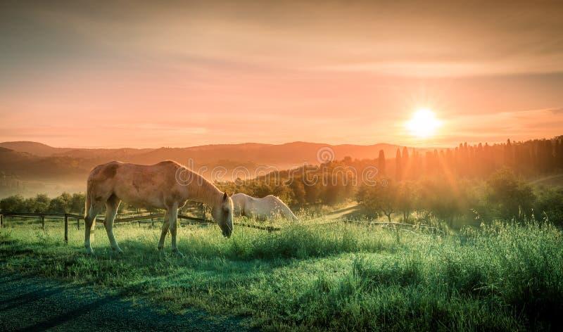 Wild paarden en Toscaanse zonsopgang stock foto's