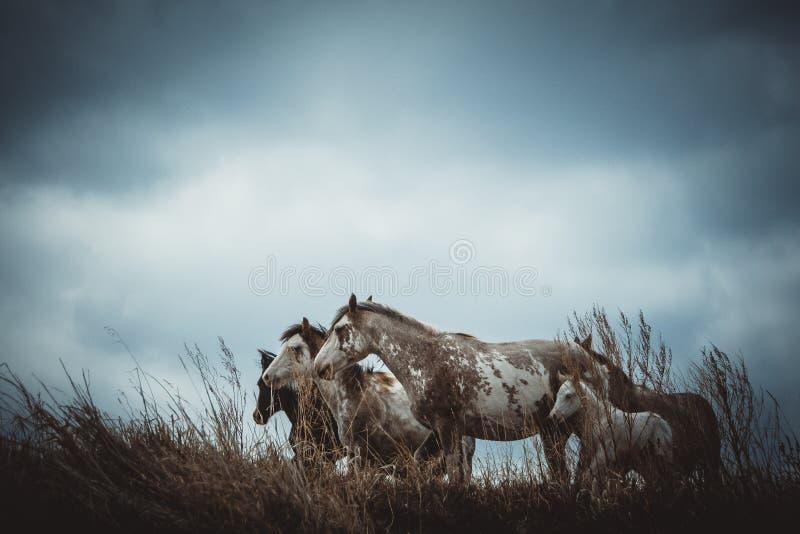 Wild paarden op de Prairies stock foto's