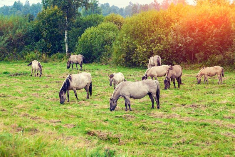 Wild paarden op de weide stock afbeelding