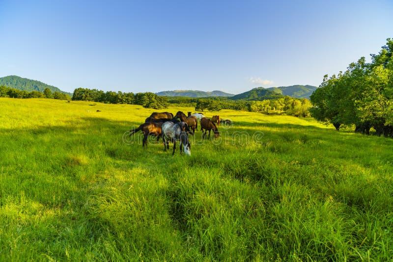 Wild paarden op een weide in de bergen royalty-vrije stock foto