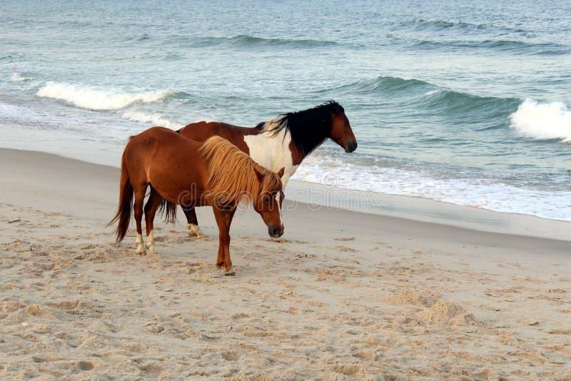 Wild paarden op het nationale park van Assateague, de V.S. royalty-vrije stock fotografie