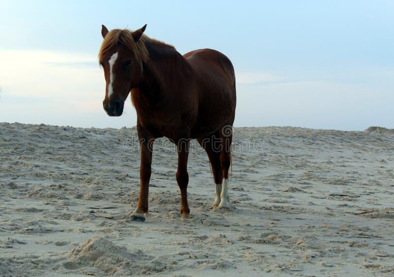Wild paarden op het nationale park van Assateague, de V.S. stock afbeeldingen
